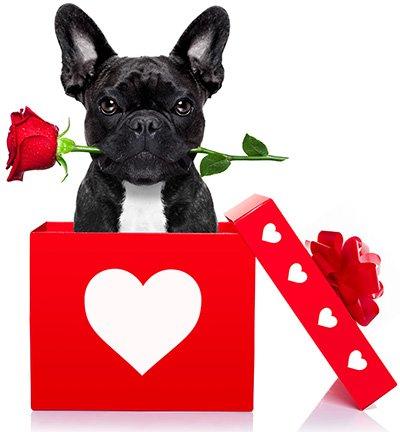▷ 10 Razones para ❌ NO Adoptar o Comprar ❌ un Bulldog Francés
